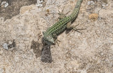 emerald-lizard-2526731_640
